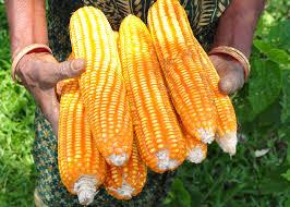 WEMA maize